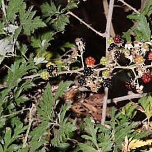 Rubus laciniatus Willd.
