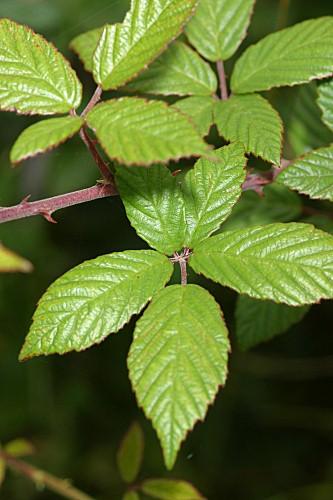 Rubus ulmifolius Schott