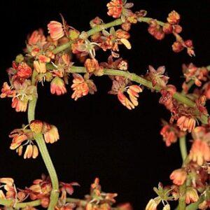 Rumex acetosella subsp. angiocarpus (Murb.) Murb.