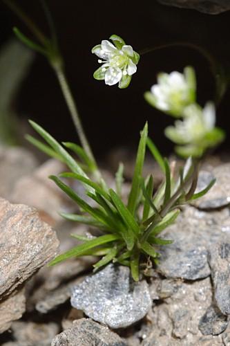 Sagina saginoides (L.) H. Karst.
