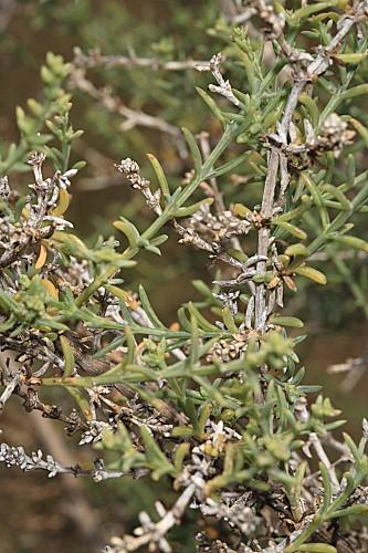 Salsola opossitifolia Desf.