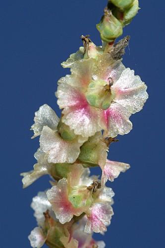 Salsola vermiculata L.