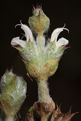 Salvia aethiopis L.