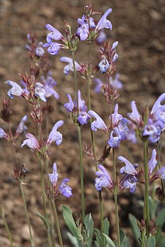 Salvia lavandulifolia subsp. vellerea (Cuatrec.) Rivas Goday & Rivas Mart.