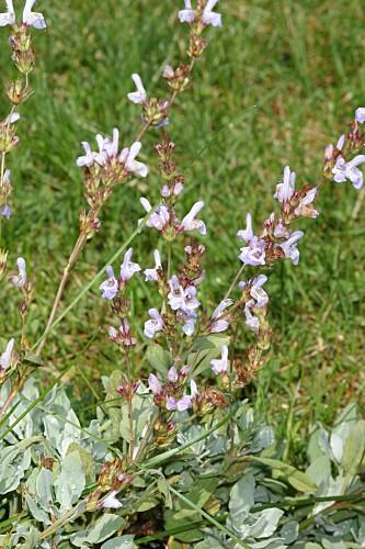 Salvia lavandulifolia subsp. oxyodon (Webb & Heldr.) Rivas Goday & Rivas Mart.