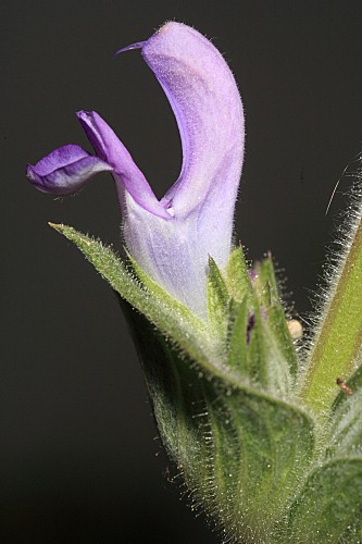 Salvia phlomoides Asso