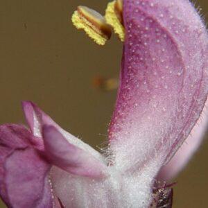 Salvia sclareiodes Brot.