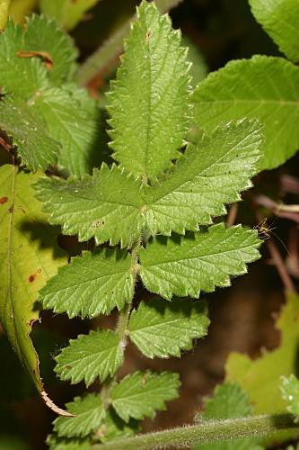 Sanguisorba hybrida (L.) Font Quer