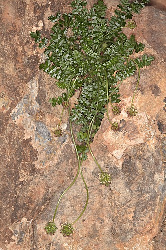 Sanguisorba rupicola (Boiss. & Reut.) A. Braun & C. D. Bouché
