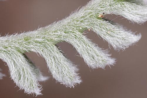 Santolina elegans Boiss. ex DC.