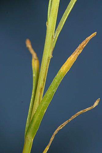Santolina rosmarinifolia L. subsp. rosmarinifolia