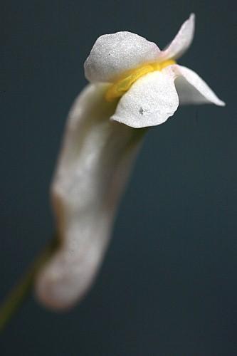 Sarcocapnos crassifolia subsp. speciosa (Boiss.) Rouy