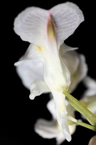 Sarcocapnos enneaphylla (L.) DC.