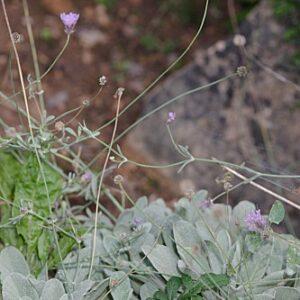 Scabiosa andryalifolia (Pau) Devesa