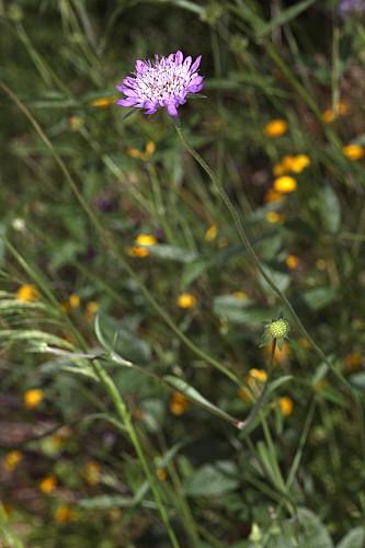 Scabiosa atropurpurea L.