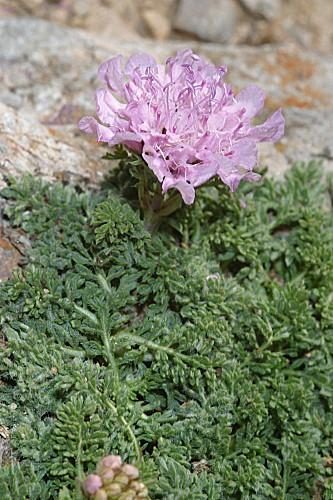 Lomelosia pulsatilloidessubsp.pulsatilloides(Boiss.) Greuter & Burdet