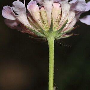 Scabiosa turolensis Pau