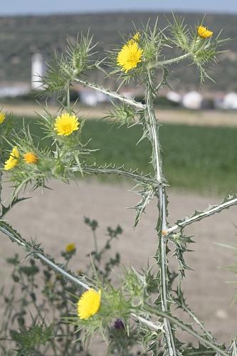 Scolymus maculatus L.