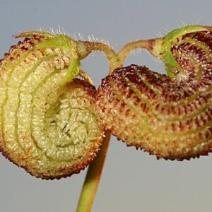Scorpiurus vermiculatus L.