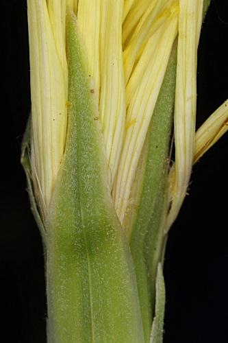 Scorzonera albicans Coss.