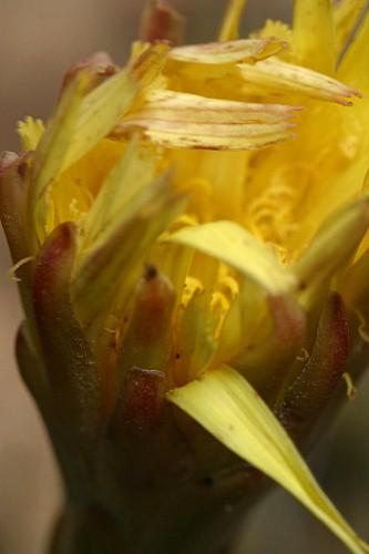 Scorzonera angustifolia L.