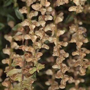 Scutellaria alpina subsp. alpina L.