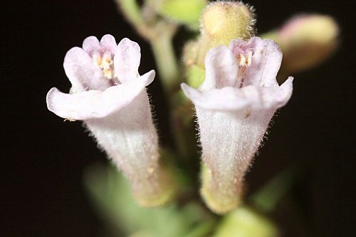 Scutellaria minor Hudson