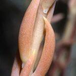 Sedum sediforme (Jacq) Pau