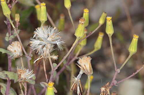 Senecio flavus (Decne.) Schultz Bip.