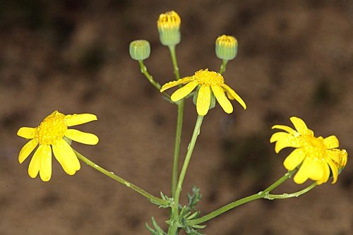 Senecio gallicus Chaix
