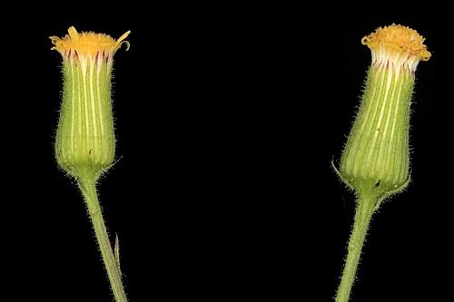 Senecio lividus L.
