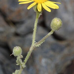 Senecio duriaei J. Gay