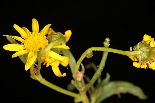 Senecio nevadensis Boiss. & Reut.