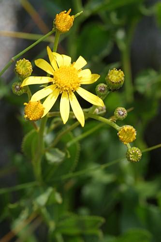 Senecio pyrenaicus L. subsp. granatensis (Boiss.) Rivas Mart.