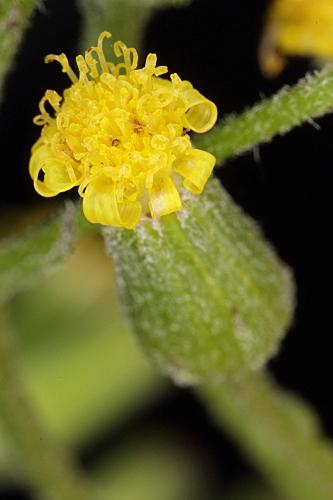 Senecio sylvaticus L.