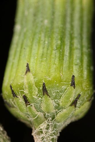 Senecio vulgaris L.