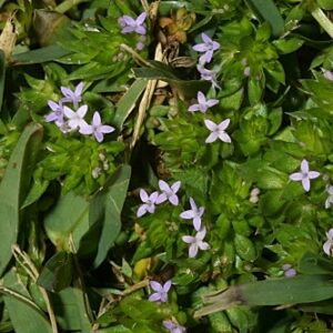 Sherardia arvensis L.