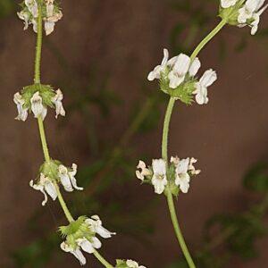 Sideritis arborescens Benth.