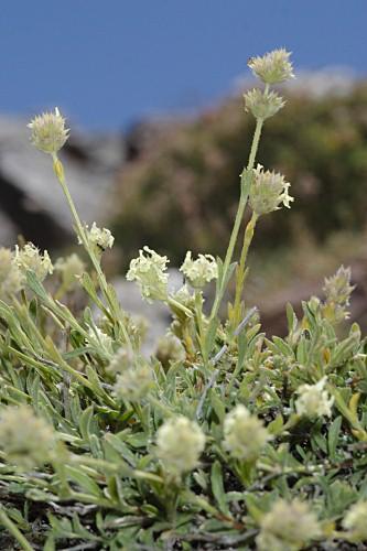 Sideritis glacialis Boiss.