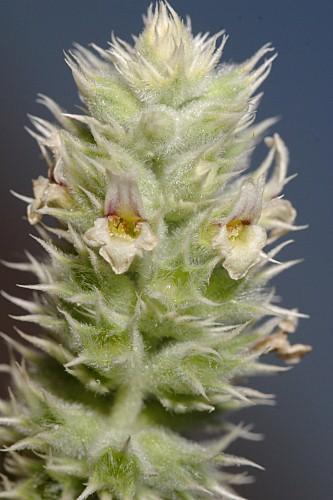 Sideritis lasiantha Pers.