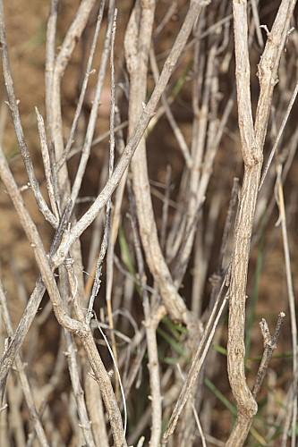 Sideritis paulii Pau