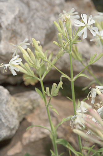 Silene andryalifolia Pomel