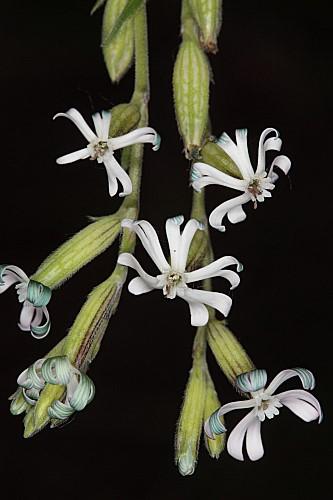Silene ciliata Pourr.