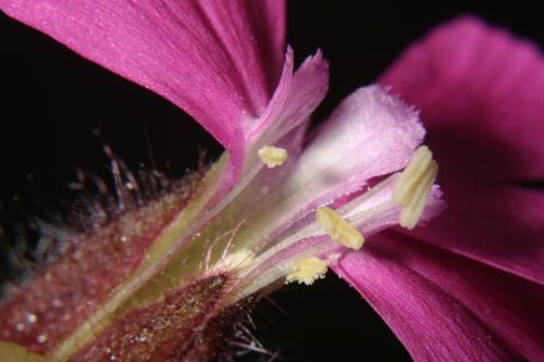 Silene dioica (L.) Clairv.
