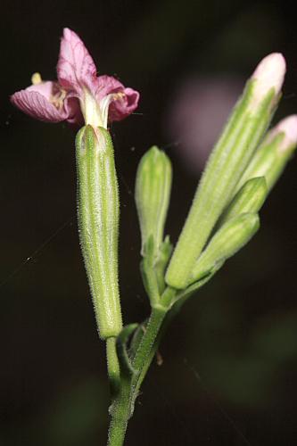 Silene hifacensis Rouy ex Willk.
