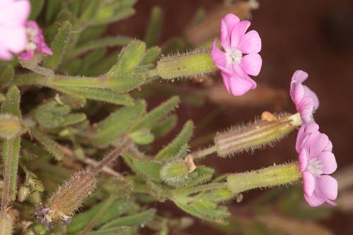 Silene littorea subsp. adscendens (Lag.) Rivas Goday