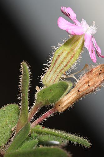 Silene littorea subsp. littorea Brot.