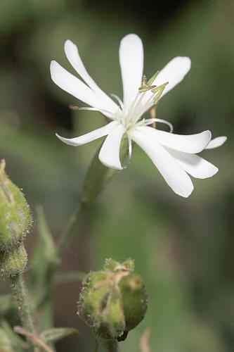 Silene mollissima (L.) Pers.
