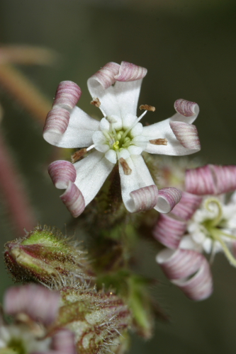 Silene nicaeensis All.