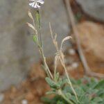 Silene obtusifolia Willd.